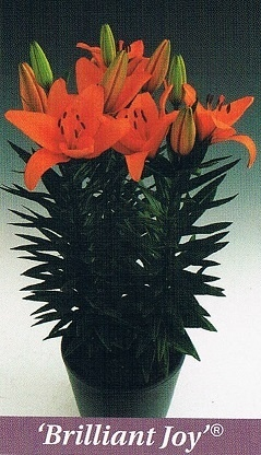 Brilliant Joy Bulb Collection > - Pot Lilies