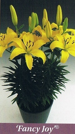 Fancy Joy Bulb Collection > - Pot Lilies