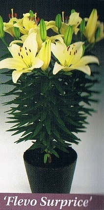 Flevo Suprice Bulb Collection > - Pot Lilies