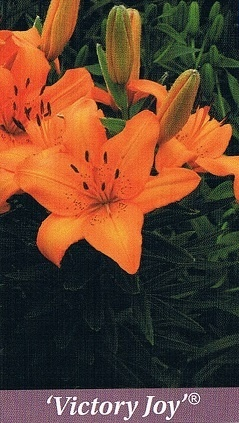 Victory Joy Bulb Collection > - Pot Lilies