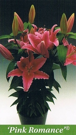 Pink Romance Bulb Collection > - Pot Lilies