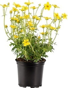 Penta 13cm Low 5 degree Growers Collection > - Pots